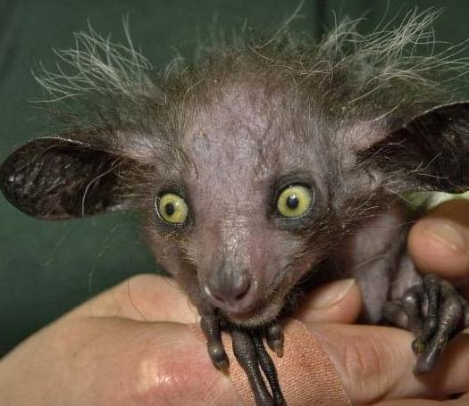 Aye-aye (normal eyes)
