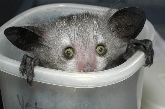 Aye-aye in a bucket