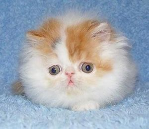 Tribble kitten